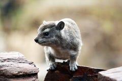 Hyrax dichte omhooggaand stock fotografie