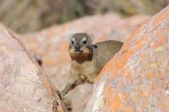 Hyrax do cabo, ou Hyrax de rocha, (capensis do Procavia) Foto de Stock Royalty Free