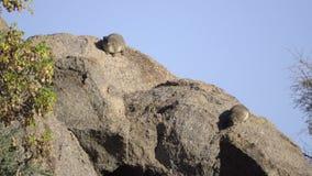 Hyrax dos que asolea en una roca metrajes