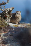 Hyrax in hiding Stock Photography