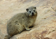 Hyrax juvenile Stock Photos