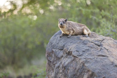 Hyrax at Lake Bogoria, Kenya Stock Photos