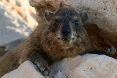 Hyrax lying on a rock Royalty Free Stock Images