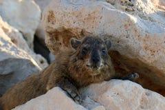 Hyrax lying on a rock Stock Photos