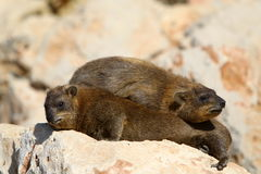 Hyrax lying on a rock Stock Images