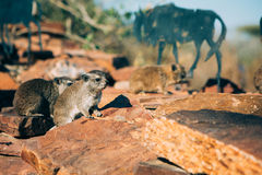 Hyrax Pals Royalty Free Stock Photo