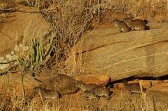 Hyrax (Procavia capensis) Stock Image