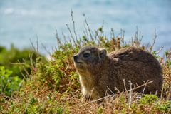 Hyrax or Rock Rabbit Stock Image