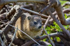 South African Hyrax Royalty Free Stock Images