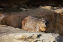 A Hyrax Royalty Free Stock Photo