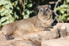 Hyrax sunbathing Royalty Free Stock Photos