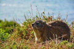 Hyraxen eller vaggar kanin Fotografering för Bildbyråer