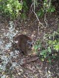 Hyraxen/vaggar kanin Arkivfoton