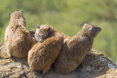 Hyraxes de rocha no sol Imagem de Stock