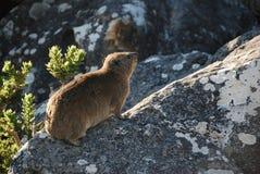 Hyraxes de roche se dorant au soleil Photo libre de droits