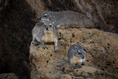 Hyraxes Stock Photo