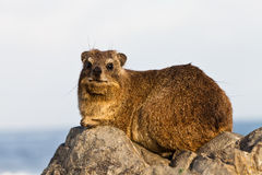 hyraxrocksitting Royaltyfria Bilder