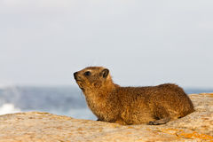 hyraxrocksitting Royaltyfria Foton