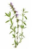 Hysope (officinalis de Hyssopus) Photographie stock libre de droits