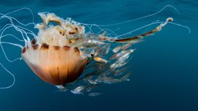 Hysoscella медуз, Chrysaora компаса и baitfish стоковое изображение rf