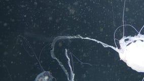 Hysoscella Chrysaora γνωστό επίσης ως μέδουσα πυξίδων Είναι μια αληθινή μέδουσα που επιδεικνύει την ακτινωτή συμμετρία με τα καφε απόθεμα βίντεο