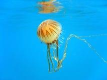 Hysoscella do Chrysaora das medusa Fotografia de Stock