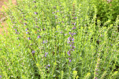 Hyssop. Plant in the garden Stock Images