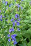 Hyssop azul de florescência fotografia de stock royalty free