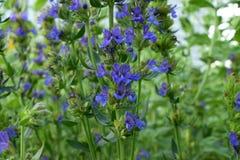 Hyssop azul de florescência imagem de stock