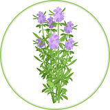 Hyssop Bunch Stock Images
