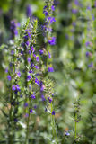 Hyssop royalty free stock images