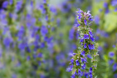Hyssop flowers in the herb garden, blurred background. Hyssop flower branch (Hyssopus officinalis) in the herb garden, blurred background with copy space stock photography