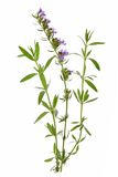 Hyssop (Hyssopus officinalis). Twigs with leaves and flowers against a white background royalty free stock photography