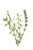 Hyssop (Hyssopus officinalis). Twigs with leaves and flowers against a white background royalty free stock photo