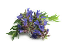 Hyssop (Hyssopus officinalis) Stock Image