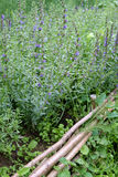 Hyssop in medieval style garden royalty free stock photo