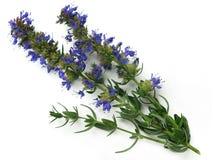 Hyssop (officinalis do Hyssopus) foto de stock