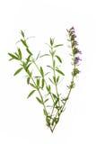 Hyssop (officinalis Hyssopus) Royalty-vrije Stock Foto