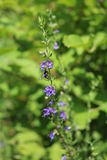 Hyssop. Officinalis (us officinalis) - shrub and phytoncide plant stock photos