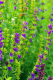 Hyssop plant. In the garden stock photo