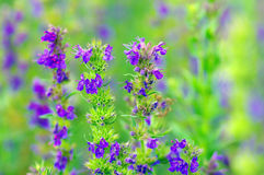 Hyssop plant. In the garden stock photography