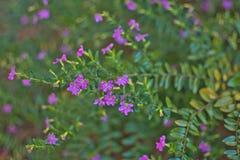 Hyssopifolia Cuphea, мексиканский вереск, Elfin трава или ложный вереск Стоковое Изображение
