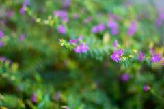 Hyssopifolia Cuphea, мексиканский вереск, Elfin трава или ложный вереск Стоковая Фотография