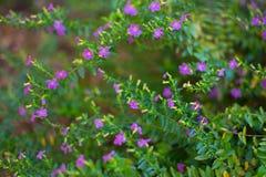 Hyssopifolia Cuphea, мексиканский вереск, Elfin трава или ложный вереск Стоковые Изображения RF