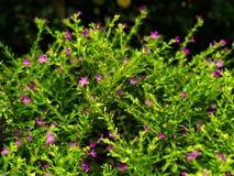 Hyssopifolia del brezo falso o de Cuphea Fotos de archivo