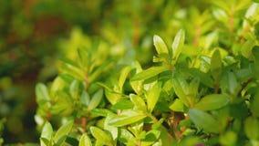 Kunth hyssopifolia Cuphea с солнечным светом акции видеоматериалы