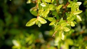 Kunth hyssopifolia Cuphea с солнечным светом видеоматериал