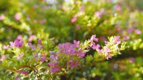Kunth hyssopifolia Cuphea с солнечным светом сток-видео