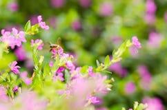 Hyssopifolia rosado de Cuphea o brezo falso del brezo o mexicano o Foto de archivo