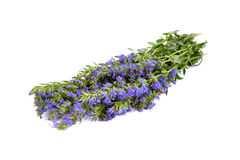 Hyssopus officinalis. Fresh hyssop herb with flowers isolated on white background stock photography